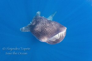 Whale Shark close up, Isla Contoy México by Alejandro Topete